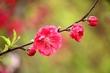 几朵红色桃花